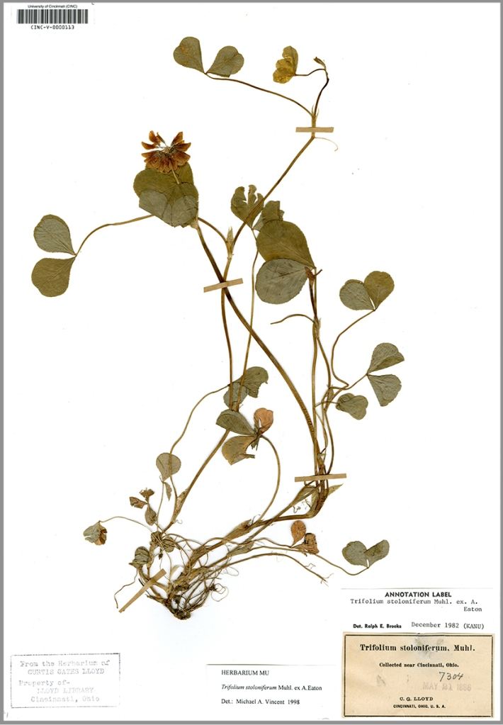 "This herbarium specimen of ""running buffalo clover"" (Trifolium stoloniferum) was collected in 1886 by Cincinnati entrepreneur and renowned collector, Curtis Gates Lloyd (of the Lloyd Brothers, Pharmacists, Inc.).  This species was once abundant in the Cincinnati area, but is now very rarely encountered locally, and is a Federally Endangered Species.  The herbarium collection is a window into past plant distributions, and can shed light on how local environments have been changed by human activity over time."